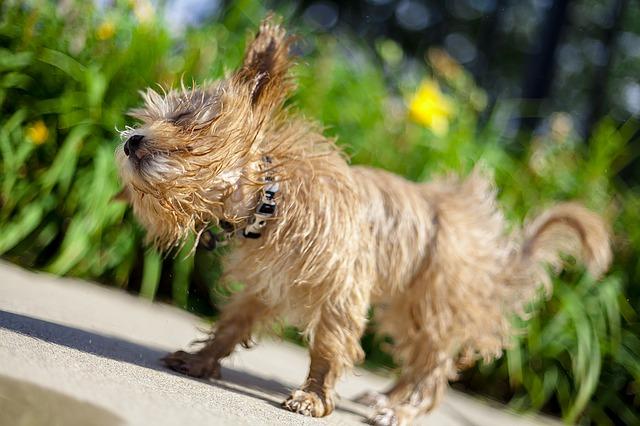 Waarom ruikt mijn hond na het zwemmen?